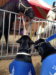 Bo and Coach are fascinated by the ponies and the llamas.