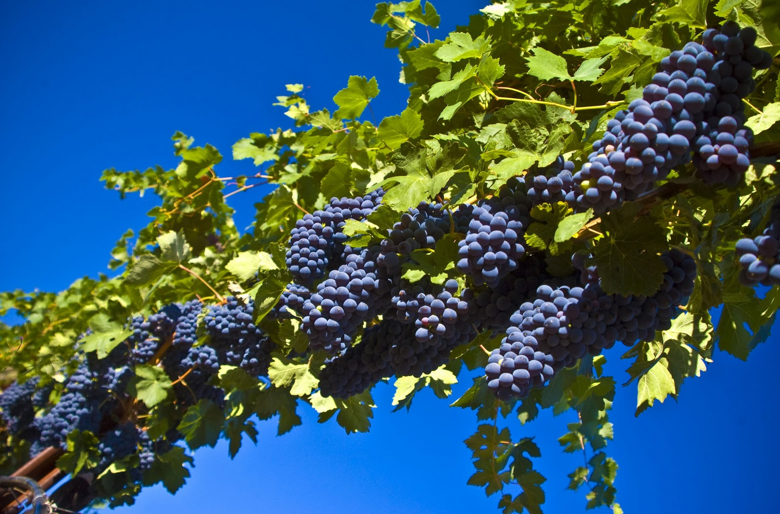 Grapes Harvest Fall HD Wallpapers Nature Flowers Flower