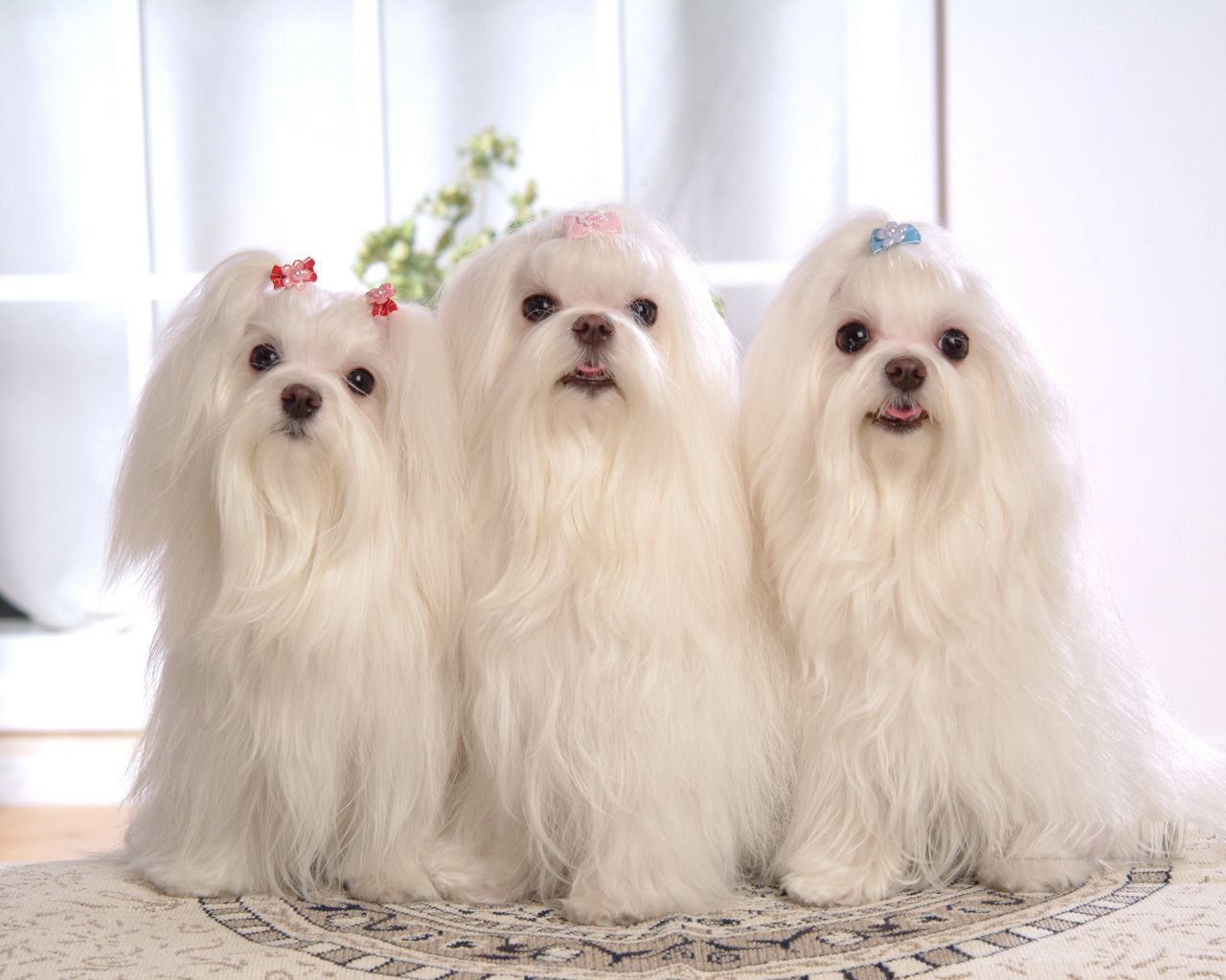 All List Of Different Dogs Breeds: Information on Cute Maltese Dogs