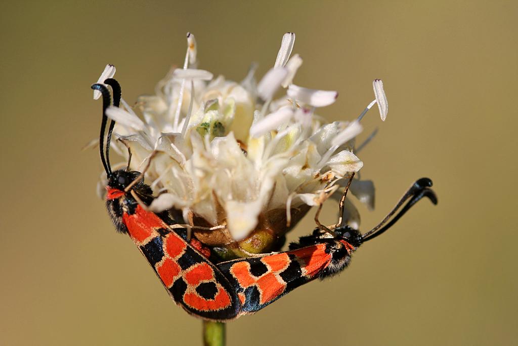 Para ampliar  Zygaena fausta (Linnaeus, 1767) Mariposa gitana, gitanilla, hacer clic