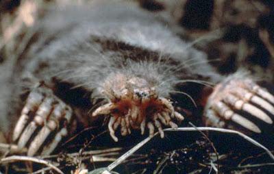 الخُلد نجمّي-الأنف | Star-nosed mole  Condylura%5B1%5D