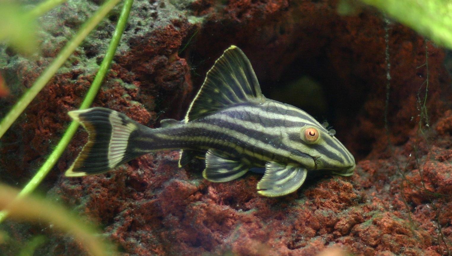Nature Lover: Pleco Fish