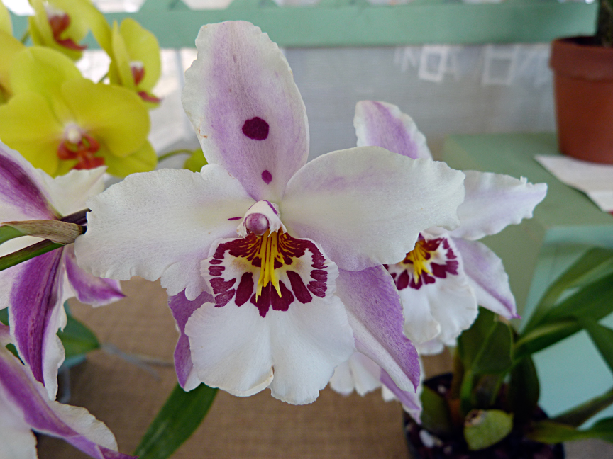 Vuylstekeara Orchid 'White Fairy'