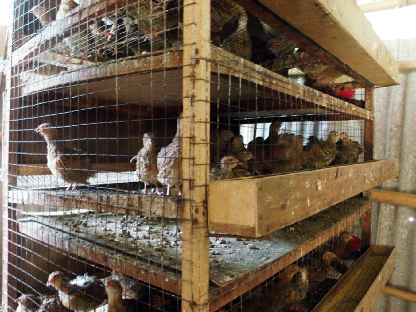 keuntungan ternak bebek pedaging