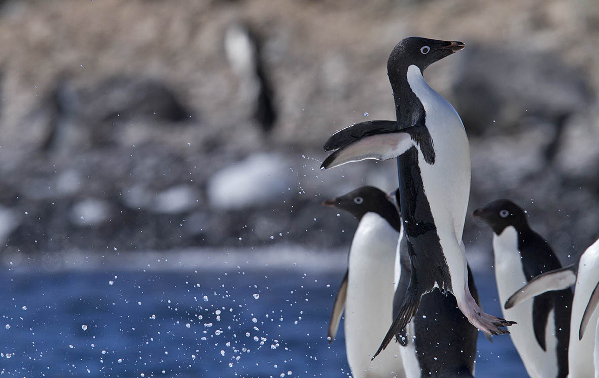 Images of adelie penguins - photo#24