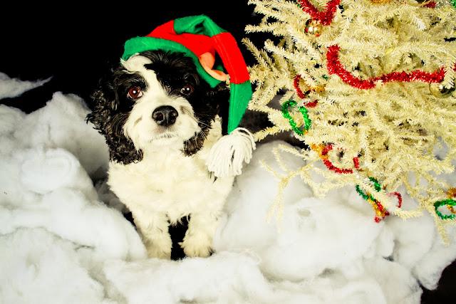 Holiday dog photo shoot