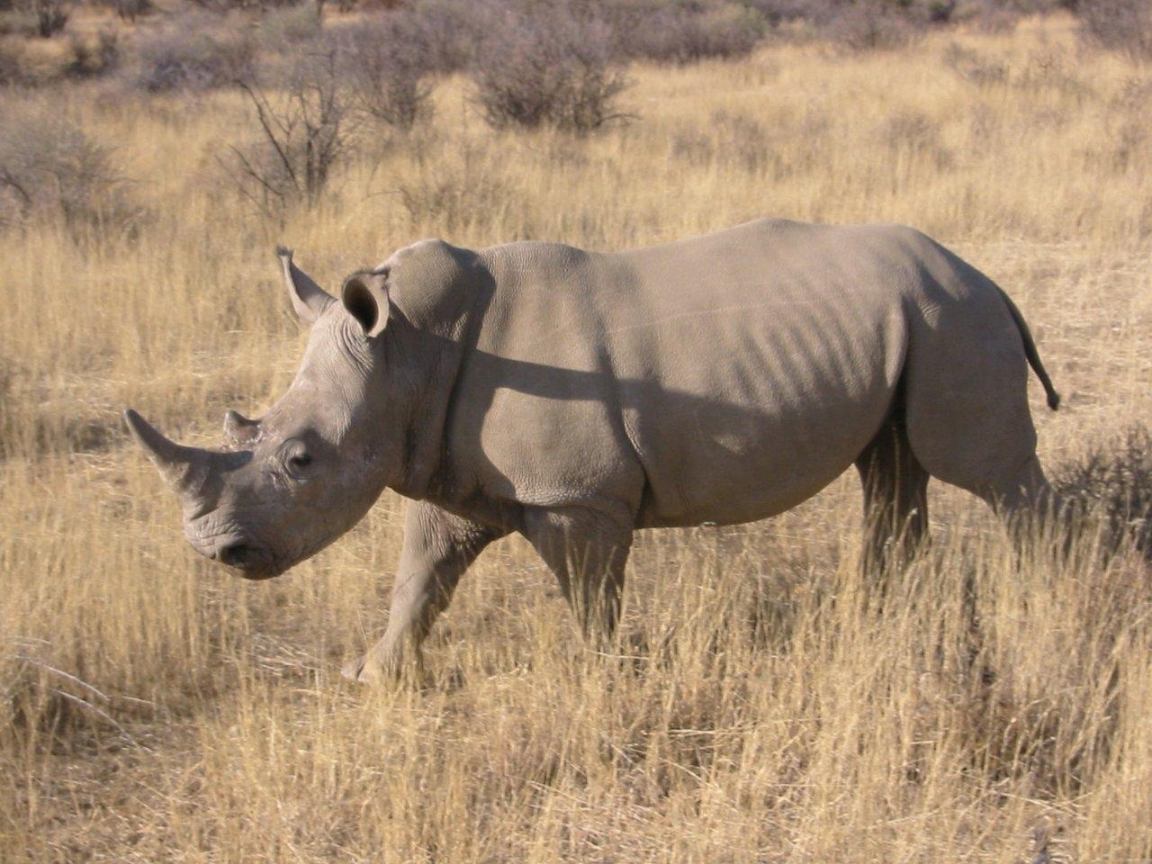 Beautiful dangerous wild animals pets of Africa: Rhino the ...