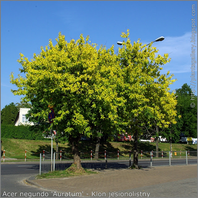 Acer negundo 'Auratum' - Klon jesionolistny 'Auratum' pokrój