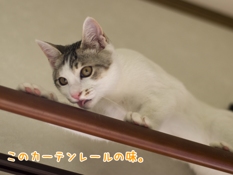 なめる子猫