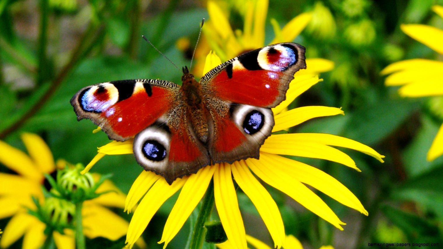 Butterfly HD Wallpapers  Butterfly Desktop Images  Cool Wallpapers