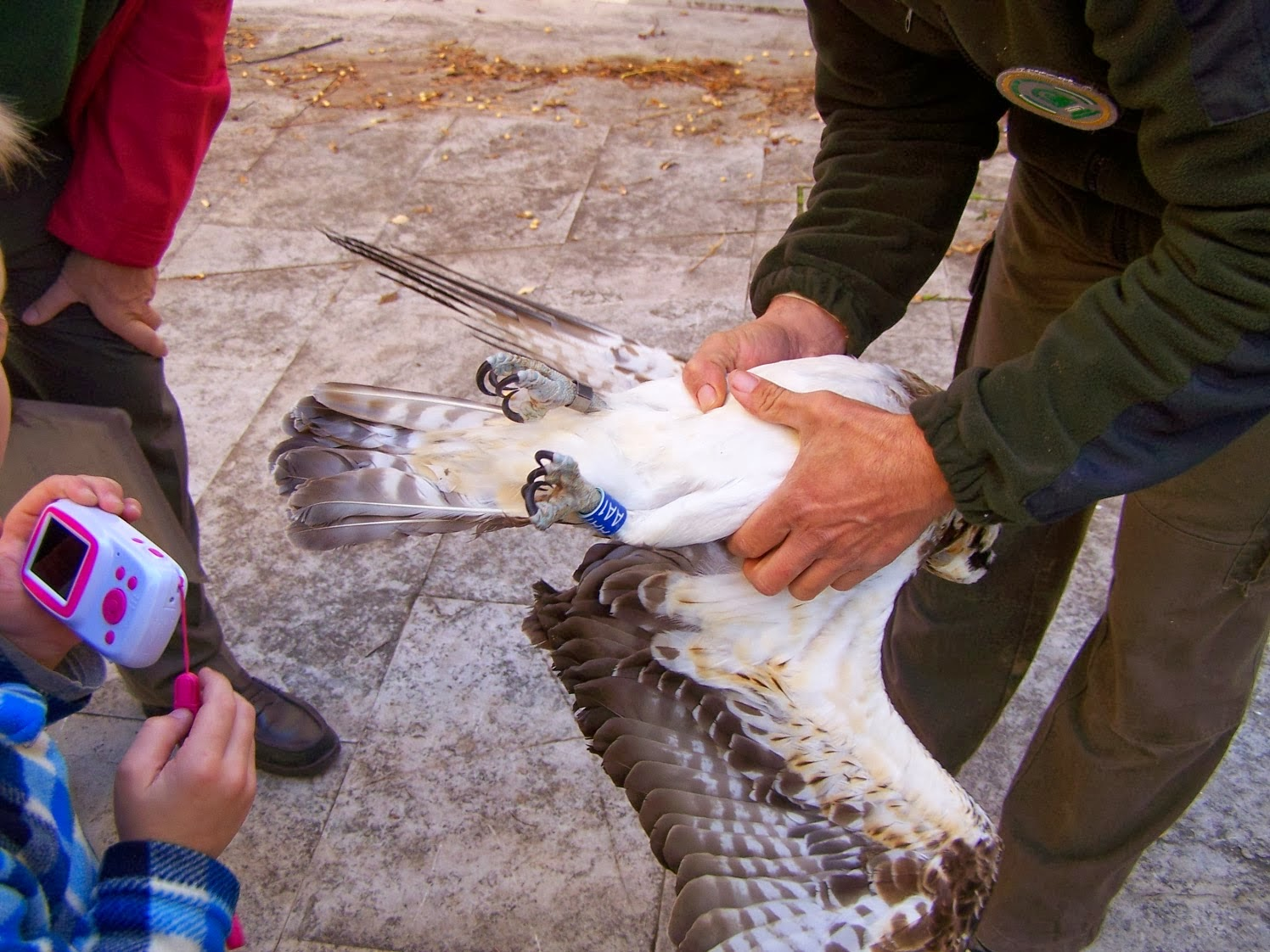 Águila pescadora marcada con anillas metálicas y de PVC. Autor: J. Fernández Mejias