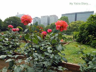 Rose at Hibiya Garden - Tokyo, Japan