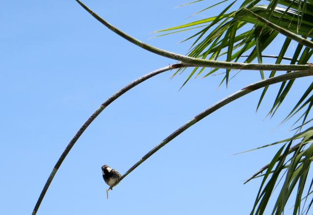 sparrow varpunen
