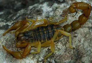 Foto del escorpión o alacrán