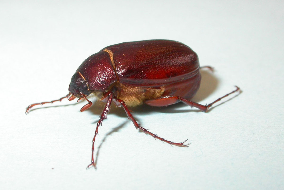 What Didn't Kill Me: let's talk about June bugs. - photo#25