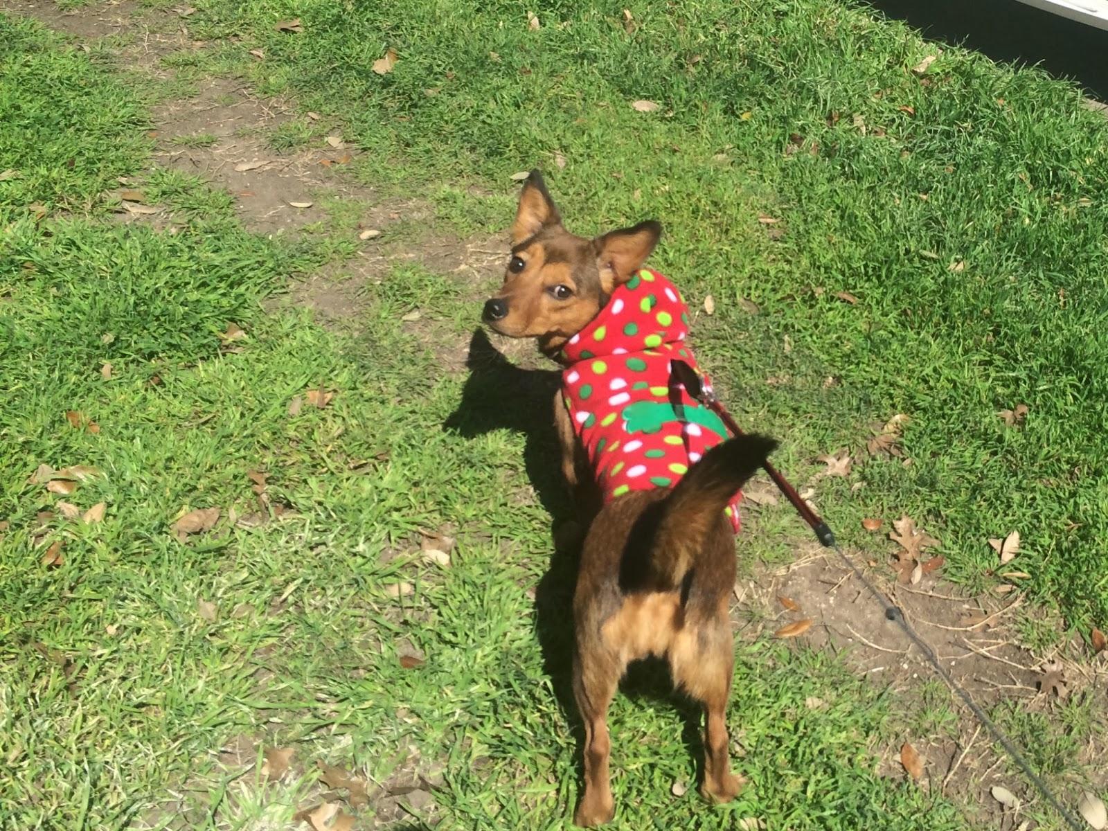 Baxter poodle blog