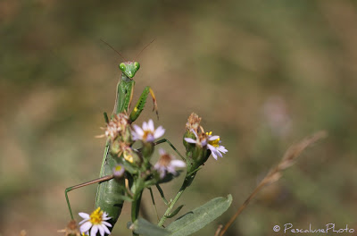 Mante religieuse (Mantis religiosa), Praying Mantis