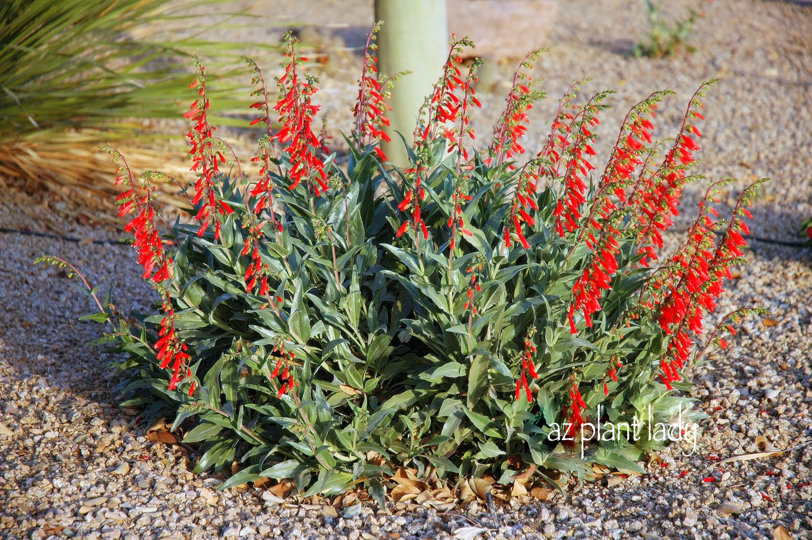 Fuss free plants for fall planting ramblings from a for Low maintenance desert plants