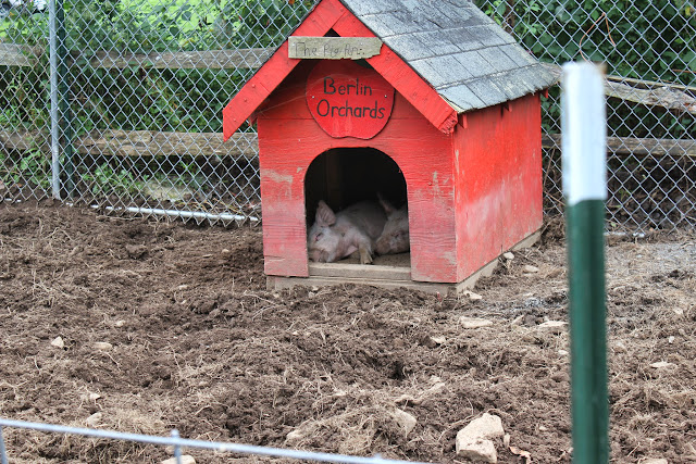 Pigs at Berlin Orchards