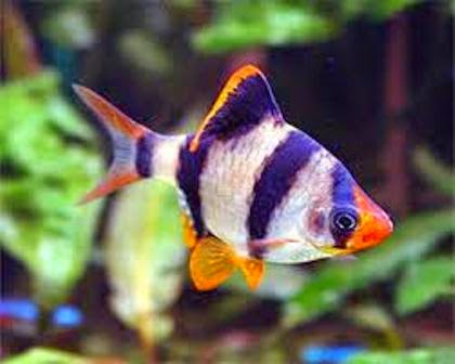 Tiger Barb Another Types Of Small Tropical Freshwater Fish