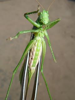 Большой зеленый кузнечик 1
