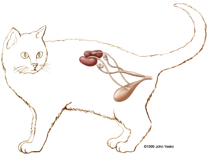 Cat anatomy female