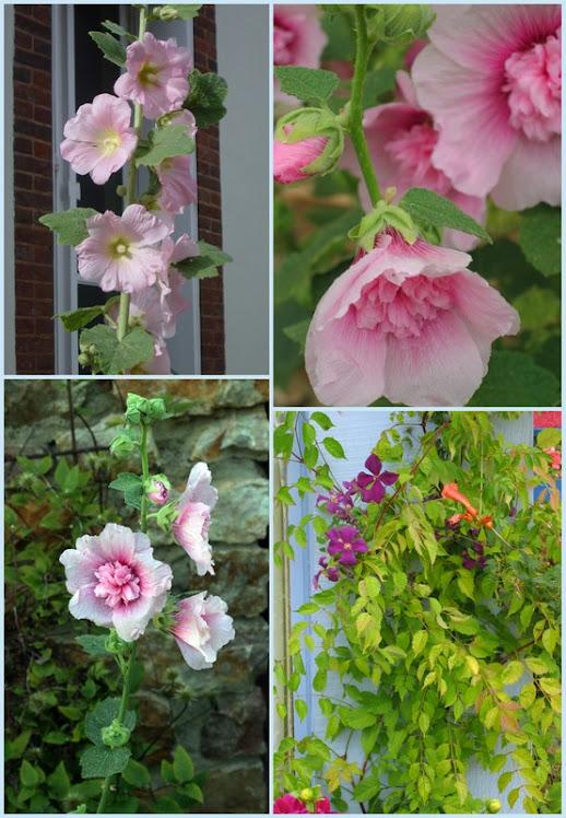 roses  trémière   &   bignonne