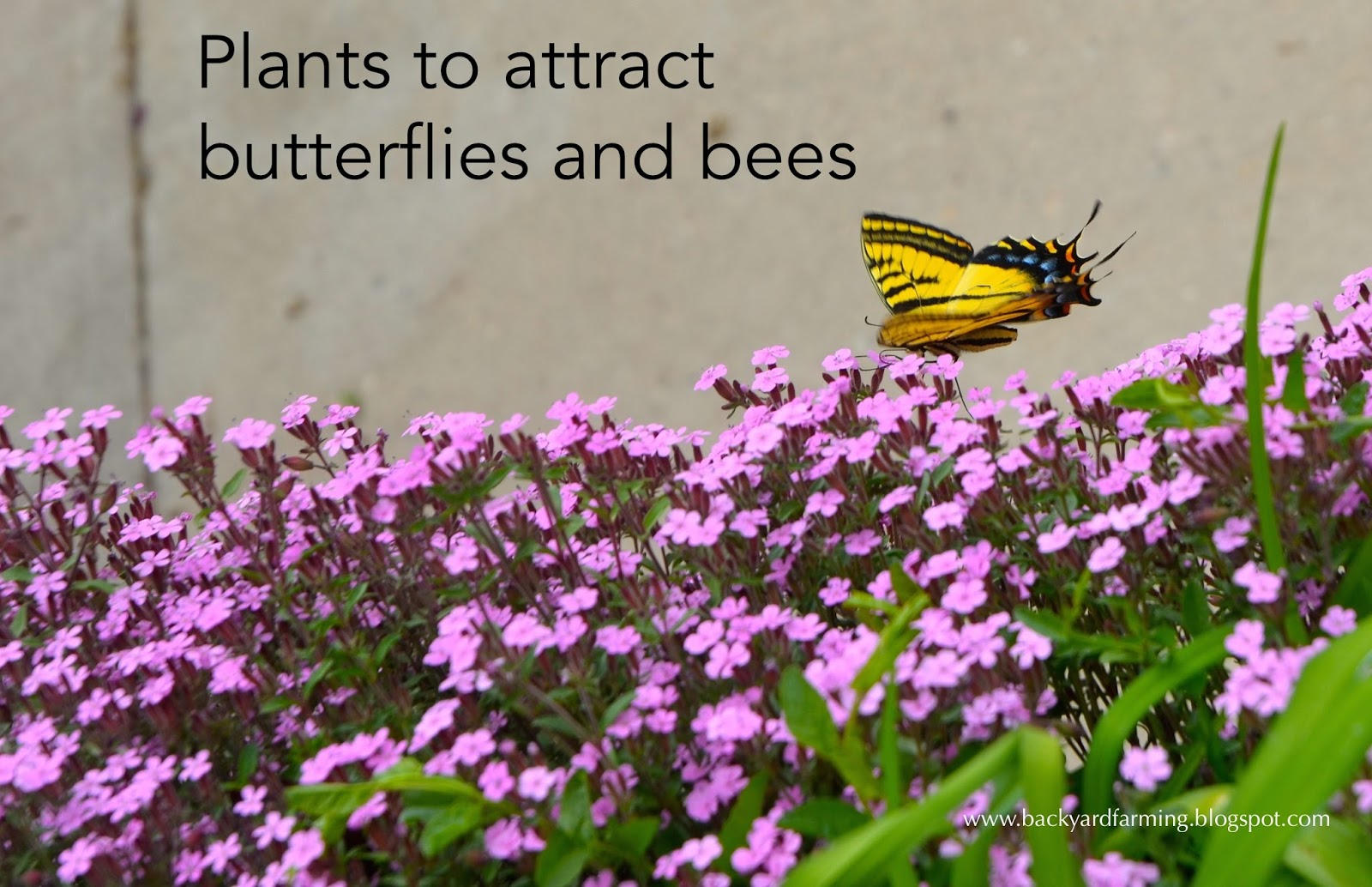 Backyard Farming: Plants to attract butterflies and bees