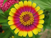 Imágenes de flores y plantas: Zinnia beautiful zinnia