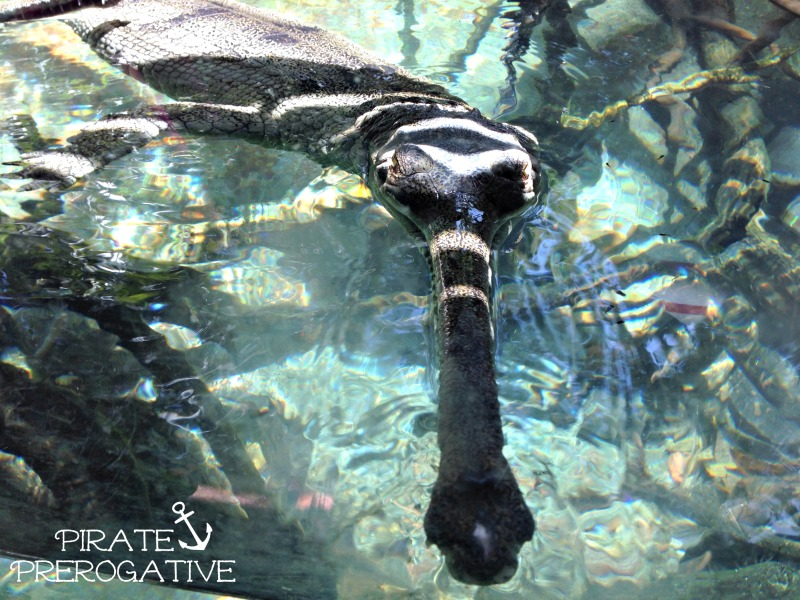 Do you know what a Gharial is? It's this guy! Check out all these cool San Diego Zoo animals.