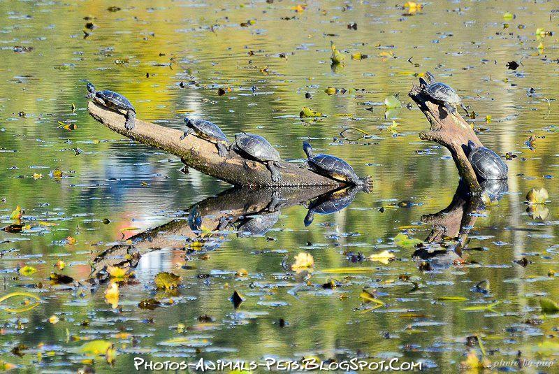 http://3.bp.blogspot.com/-97HsbDRydvo/Tt-aXWkcggI/AAAAAAAACno/QbxiQxFm0nY/s1600/turtle%2Bpictures%2B2012.jpg