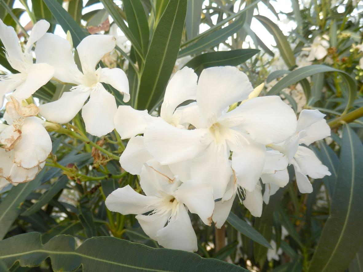 """Baladre (Nerium oleander """"alba"""")"""