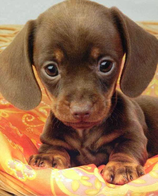 Funny animals of the week - 6 December 2013 (35 pics), cute wiener puppy