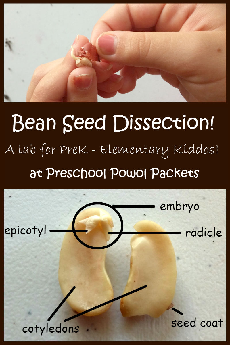 Dissect a bean seed lab preschool powol packets its time to dissect a bean beans are perfect to study and learn more about how seeds work pooptronica Images