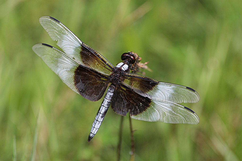 Black And White Dragonfly Wallpapers All About Dragon World Dragon Tattoo Design