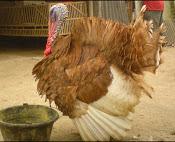 Artikel Ayam Kalkun