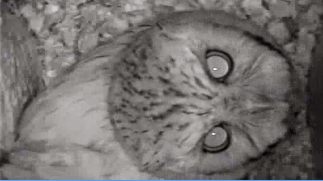 Video: Screech Owl Horse Whinny Call