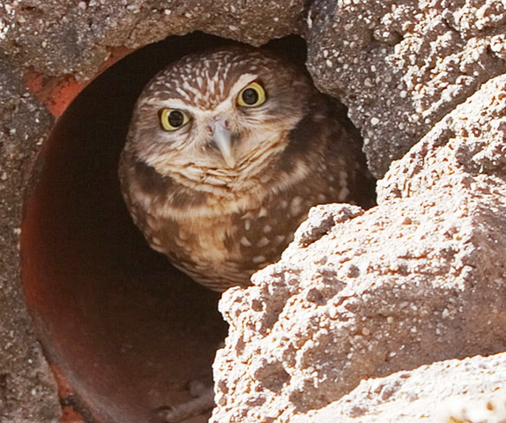 Burrowing Owl Facts All About Owl