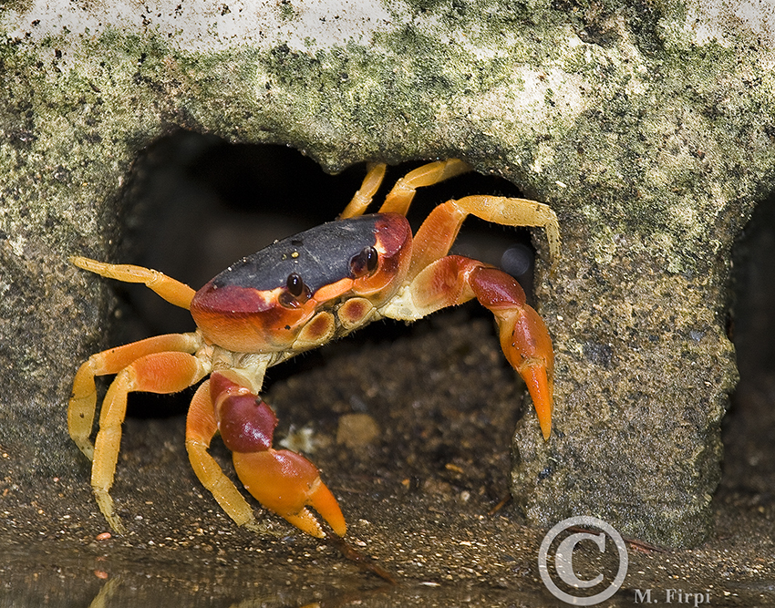 The Blackback Land Crab (Gecarcinus lateralis); ISO 400, f/5.6, 1/240 ...