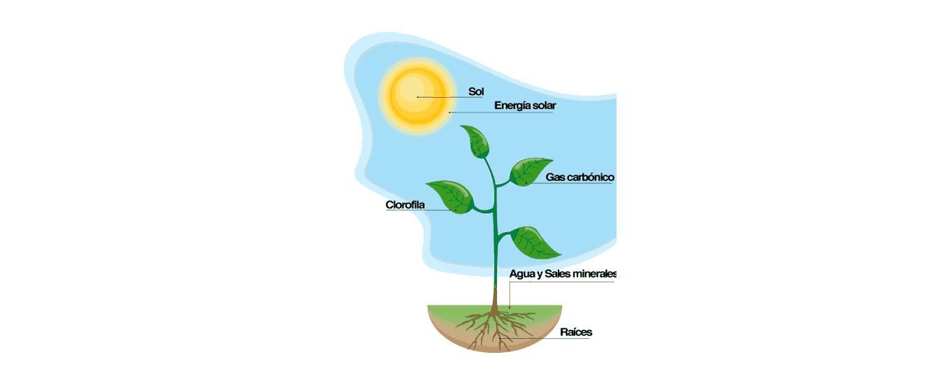 Qu es la fotos ntesis for Plantas de purificacion