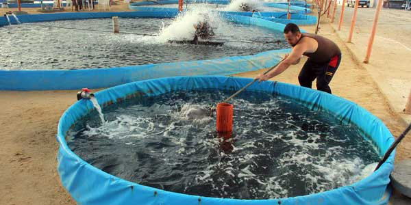 Peluang Budidaya Ikan Lele
