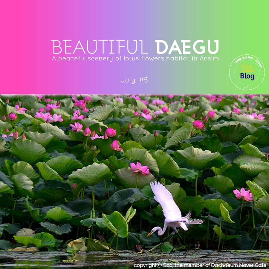 Touch daegu beautiful daegu a peaceful scenery of lotus flowers beautiful daegu a peaceful scenery of lotus flowers habitat in ansim mightylinksfo