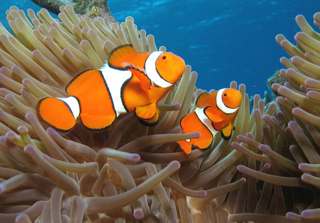 Life of orange clownfish life of sea for Clown fish habitat