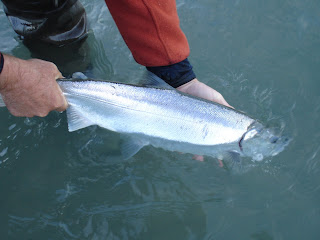 Wild Squamish River Coho