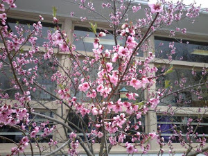 'peach blossoms'
