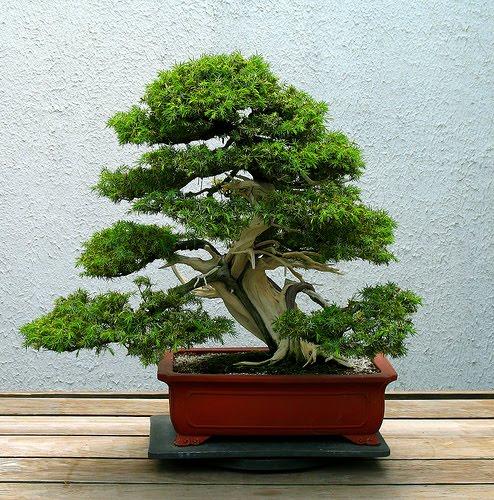 Toda moderna como cultivar um bonsai for Como cultivar bonsais
