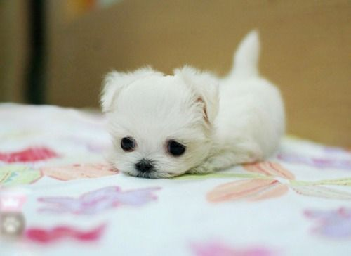 teacup puppy maltese cute baby pink