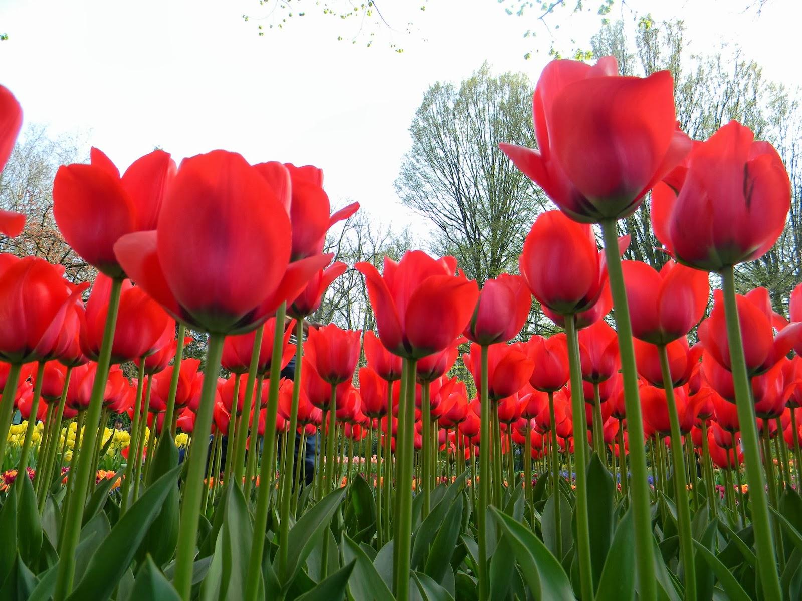 Gambar Taman Bunga Tulip