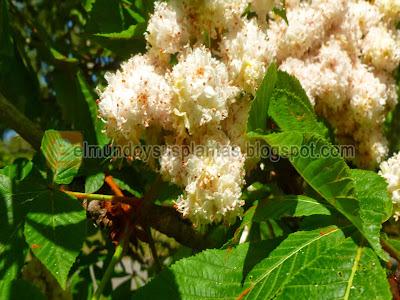 Castaño de la India aesculus hippocastanum