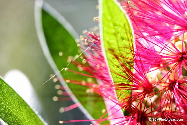 Callistemon Citrinus (Crimson Bottlebrush) flower closeup w/ spider web